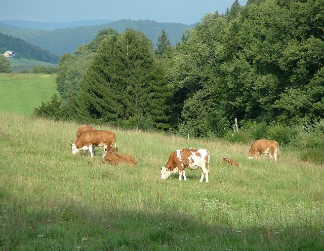 krávy se pasou