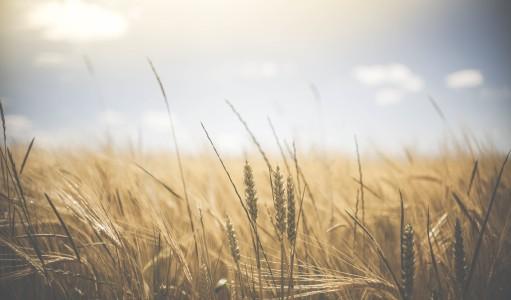wheat VOLNĚ